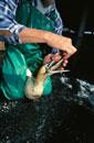 ケープシロカツオドリとえさをやる人 サンコブ 南アフリカ