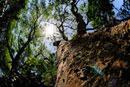 見上げる巨木と太陽