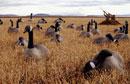 カナダガンを狩るハンターとデコイ