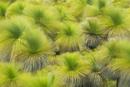 Grass trees in wind, Xanthorrhoea preissii, Lancelin Region,
