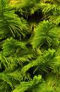 Araucaria folliage, Hawaii