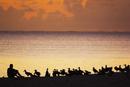 Researcher observing laysan albatrosses, Phoebastria immutab