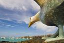 Albatross statue overlooking harbor, Santa Cruz Island, Gala