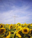 Power lines over a sunflower field