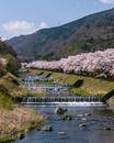 早川と桜並木