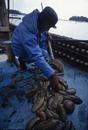 くちこ作り 七尾湾のなまこ漁