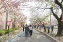 造幣局通り抜け 桜並木