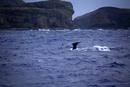 クジラ ザトウクジラ 聟島列島