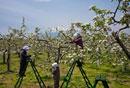 リンゴ畑の受粉作業 青森県