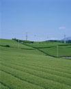 茶畑(富士)