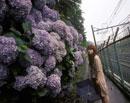 線路沿いを歩く女性と紫陽花
