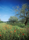 Red poppies in olive grove