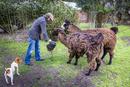 Man Feeding Llamas at Candelaria del Monte, San Miguel de Monte, Argentina