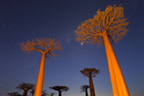 Avenue of the Baobabs near Morondava, Menabe, Madagascar