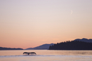 Humpback whale (Megaptera novaeangliae) at dawn, Great Bear Rainforest, British Columbia, Canada