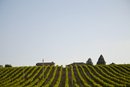Vineyard field and blue sky