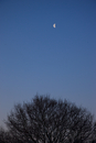 Tree top and half moon on a cloudless sky