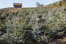 Austria, Plantation of christmas trees