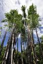 Australia, New South Wales, Sydney, Bamboo tree at Royal Botanic garden