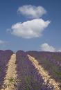 Lavandula angustifolia, Lavender, Purple subject.