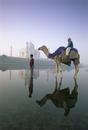Camel in front of the Taj Mahal and Yamuna (Jumna) River, Taj Mahal, UNESCO World Heritage Site, Agra, Uttar Pradesh state, Indi