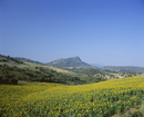 Fields of sunflowers, near Ronda, Andalucia (Andalusia), Spain, Europe
