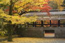 Gingko tree, garden of Nanzenji Temple, Kyoto, Kansai (Western Province), Honshu, Japan, Asia