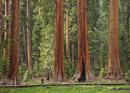 Tourist admiring the Giant Sequoia trees (Sequoiadendron giganteum), hiking on the Big Trees trail, Round Meadow, Sequoia Nation