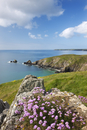 Sea thrift flowering on the clifftops above Carrick Luz, with views to the Lizard, Cornwall, England, United Kingdom, Europe