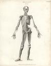 Human core musculature, front.