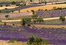 Lavender fields, Sault region, Provence, France