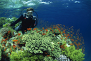 Diver with Anthias fish swimming around hard coral, Laguna Reef, Straits of Tiran, Red Sea, Egypt, North Africa, Africa