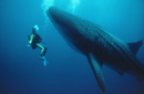 Martha Holmes swims with Whale Shark off Hawaii, 1991 on loc
