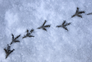 Wood pigeon (Columba palumbus) footprints in snow, Norfolk,