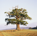 English Oak (Quercus robur) standing solitary in a field. Su