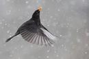 飛ぶクロウタドリ
