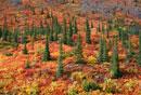 Spruce & Birch covered hillside in the Fall. Yukon. Canada.