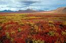 Tundra in Autumn colour. Northern Yukon. Canada