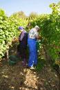 Picking Silvaner grapes in vineyard