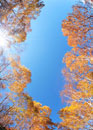 ダケカンバ林と木もれ日