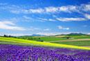 ラベンダーと菜の花畑と芦別岳