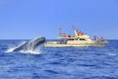 ザトウクジラのヘッドスラップとホエールウォッチング船