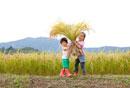 田んぼで刈り取った稲穂を運ぶ姉と弟