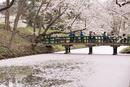 弘前公園の桜と散った花弁と一陽橋に車椅子の観光客