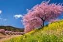 みなみの桜と青野川