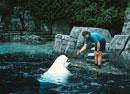 餌をもらうベルーガクジラ