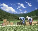 高原野菜畑の出荷風景