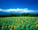 ヒマワリ畑と夏雲