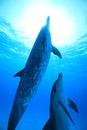 バハマの青い海を泳ぐイルカ