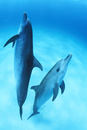 砂地の海底を泳ぐバハマのイルカたち